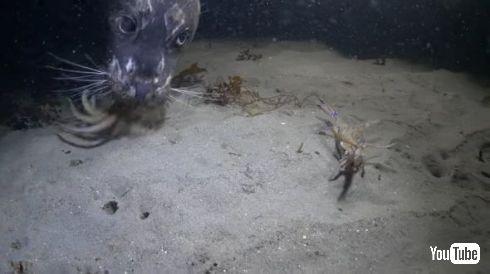 タコ カニ アザラシ 戦い 捕食