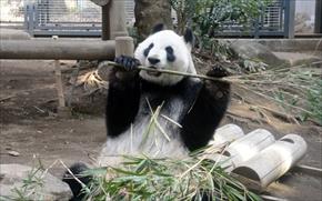 パンダ展示再開