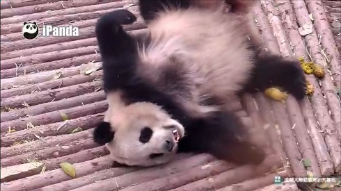 パンダ監視
