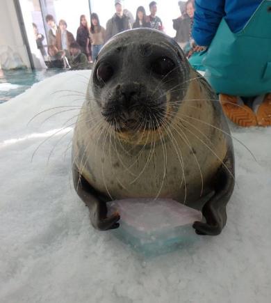 海遊館 ひなまつり 菱餅 氷 ラッコ カワウソ