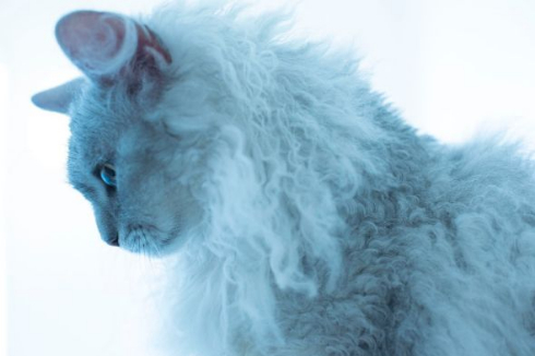 世界一美しい猫たち ラパーマ 五十川満 写真集 写真展