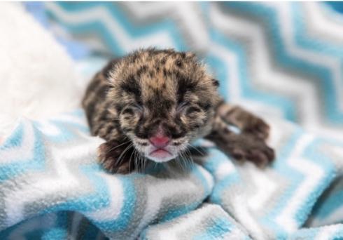ナッシュビル動物園ウンピョウの赤ちゃん