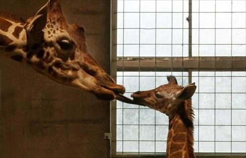 多摩動物公園キリン誕生