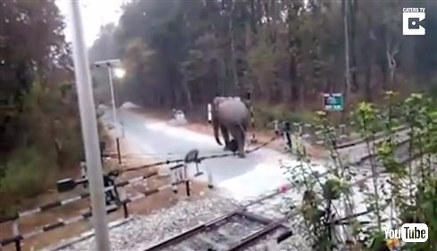 「ちょっと通りますよ」インドでゾウが踏切を突破する動画 長い鼻で遮断器を丁寧に持ち上げる