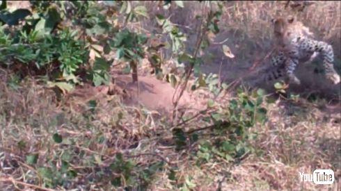 ヒョウ ヘビ バトル VS 戦い クルーガー国立公園