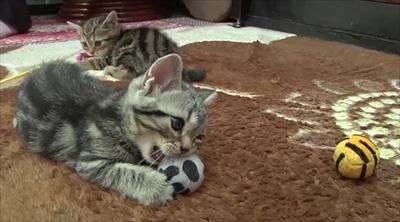 ふわねこ スターねこの仔猫たち