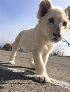 東北サファリパーク ホワイトライオン移動