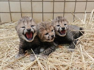 多摩動物公園チーターの赤ちゃん