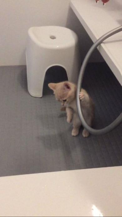 猫 お風呂場 大好き ミルくん