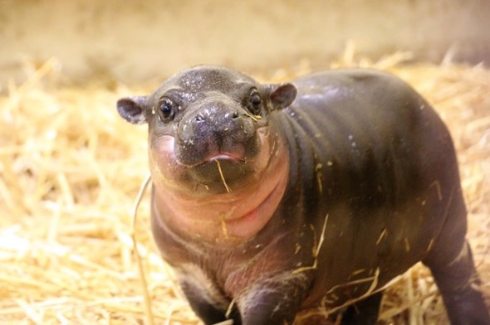 タロンガ動物園コビトカバの赤ちゃん誕生