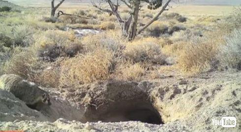 アナグマ 牛 埋める