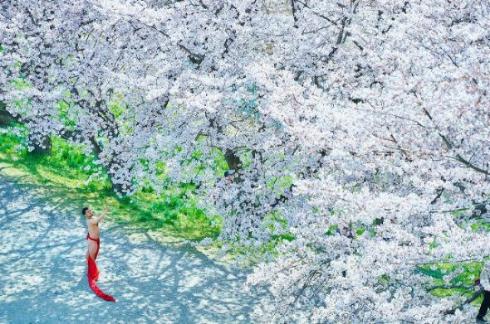 ふんどし 写真 桜 躍動感 ダンサー