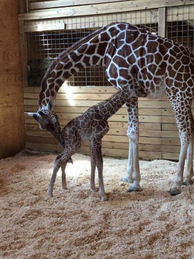 キリン 出産 中継 赤ちゃん