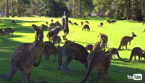 カンガルー「きもちの良い芝生ですね」ゴルファー「そうですね」 カンガルーに占拠されたオーストラリアのゴルフ場が壮観