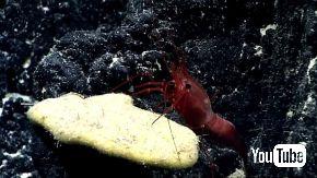 エビ 捕食 魚 ドラゴンフィッシュ