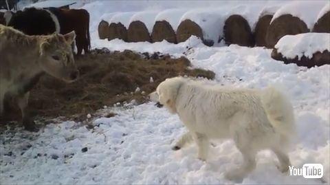 牛にかまってほしい犬