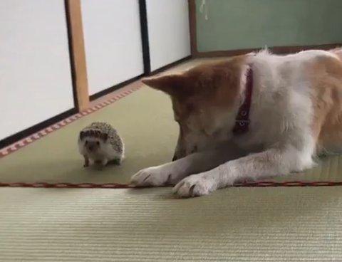 びびり 犬 マイペース はりねずみ