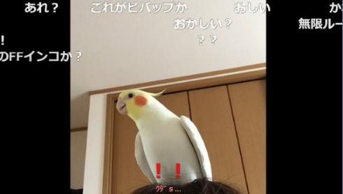 インコ 桃太郎 自信がない 最後まで歌えない 鳥