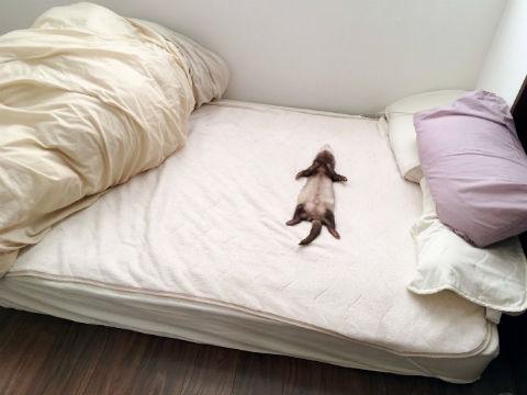 フェレットの寝姿