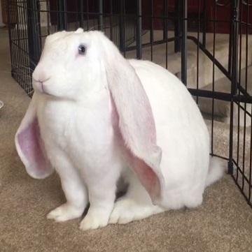ウサギ 動画 耳 大きい イングリッシュ・ロップ