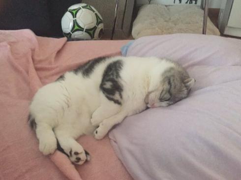 猫 マップくん マンチカン ごろごろ 寝る