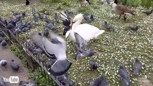 ハトと白鳥