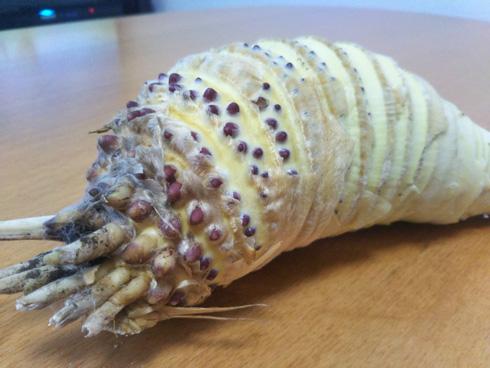 王蟲そっくりタケノコ