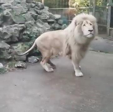 ホワイトライオンが上を見てる