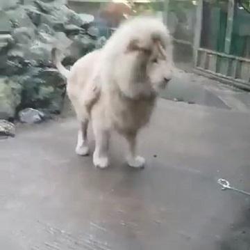 弾けたシャボン玉と飛び上がるホワイトライオン