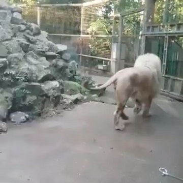 すごすごと去るホワイトライオン