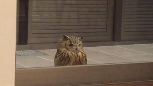 フクロウ ガルー君 脳内 ドア 待つ