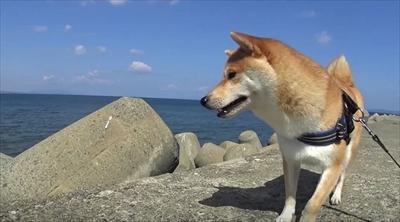 柴犬だいふくの幸せな日々