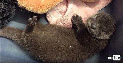 カワウソの赤ちゃん2
