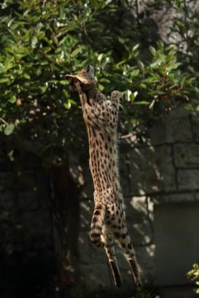 多摩動物公園 サーバルキャット リアルすしざんまい