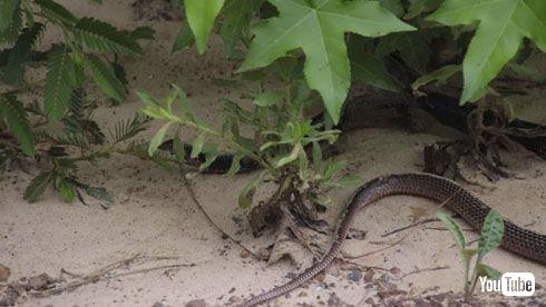 ヘビを吐くヘビ