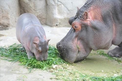 神戸市立王子動物園カバの赤ちゃん