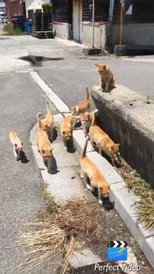 猫 茶トラ団 行軍 睦月島