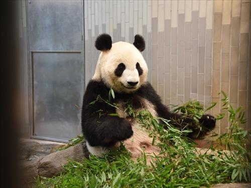 上野動物園ジャイアントパンダ シンシン出産