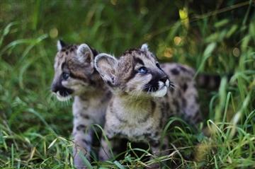 ピューマの赤ちゃんが米動物園で誕生 ミルクを飲む姿がキュン死するかわいさ