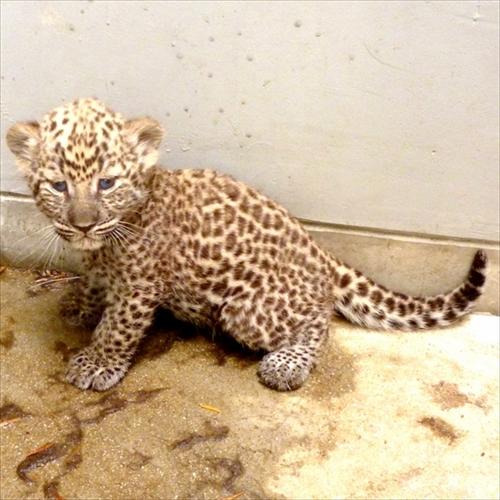 福岡市動物園ヒョウの赤ちゃん誕生