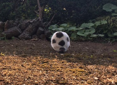 猫 サッカーボール 擬態
