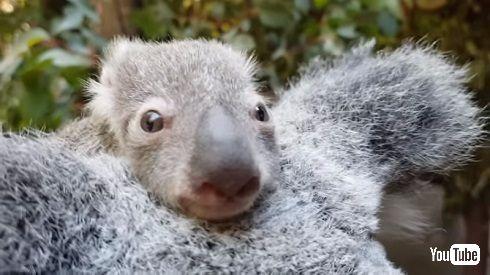 赤ちゃんコアラ