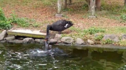 コクチョウ コイ 餌付け 鳥 魚