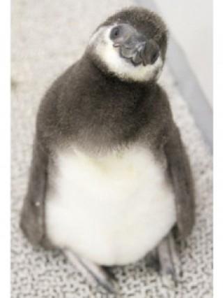 すみだ水族館マゼランペンギン
