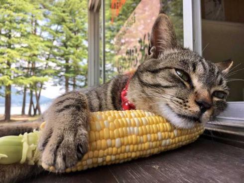 猫 とうもろこし 枕 寝る
