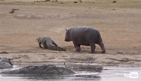カバ「ワニさん遊ぼー!(ドドドドド)」 迷惑がるワニをよそに追いかけ続けるカバの一途さ