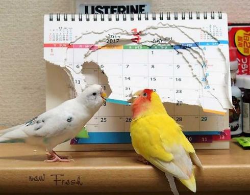 インコ カレンダー 今年 終了 終わり