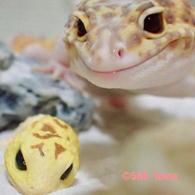 ヤモリ 琥珀 ちんまり おもちゃ 表情