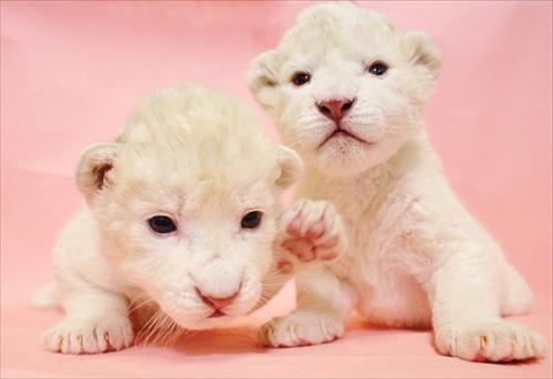 姫路セントラルパーク ホワイトライオンの双子ちゃん