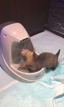 カワウソ 赤ちゃん 泣きぐずる 水飲み
